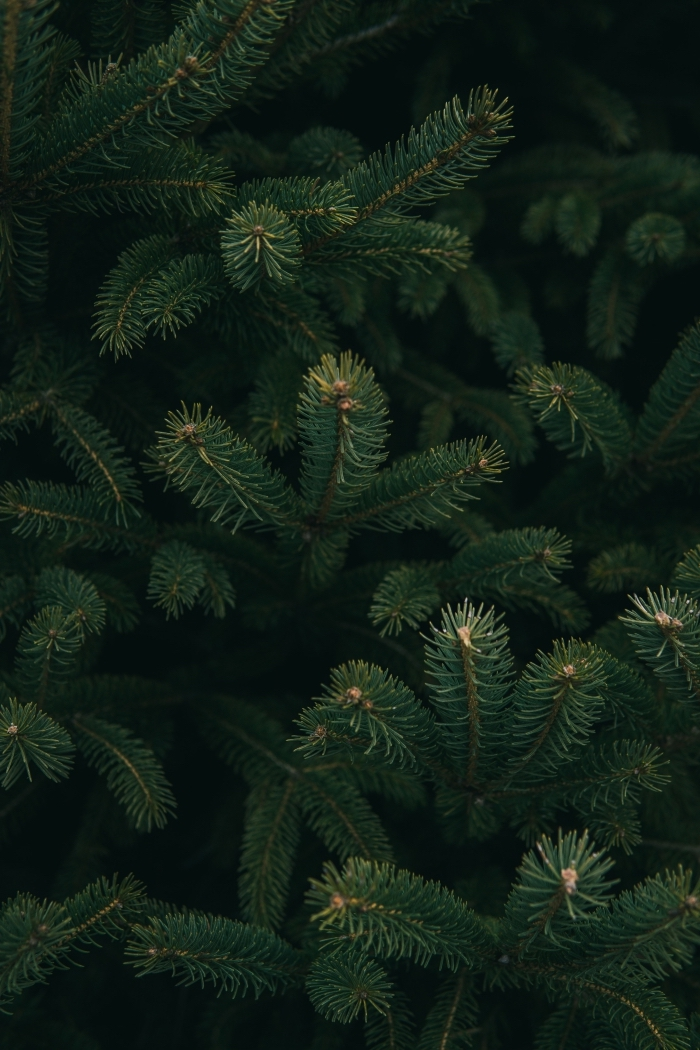 idée wallpaper Noël de style minimaliste avec une photo de branches de sapin, photo macro d'arbre de Noël en nature