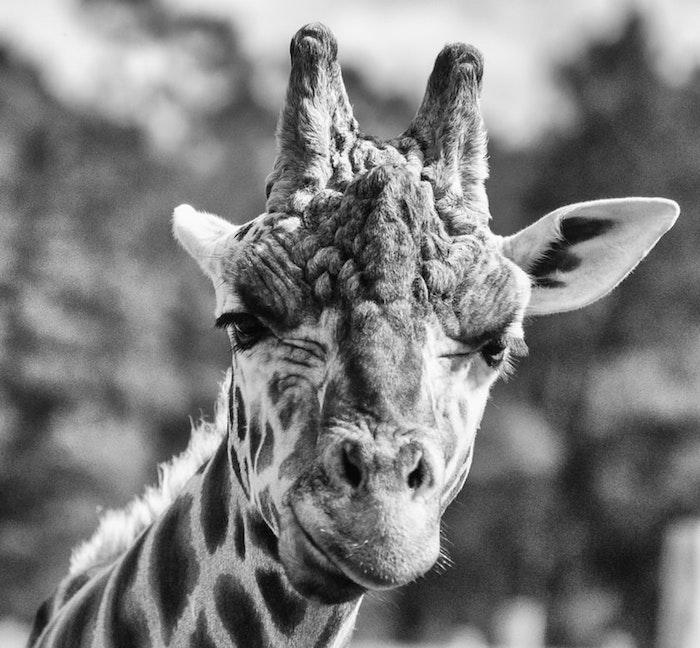 Girafe adorable et très photogénique, dessin noir et blanc, fond d'écran noir et blanc animal mignon