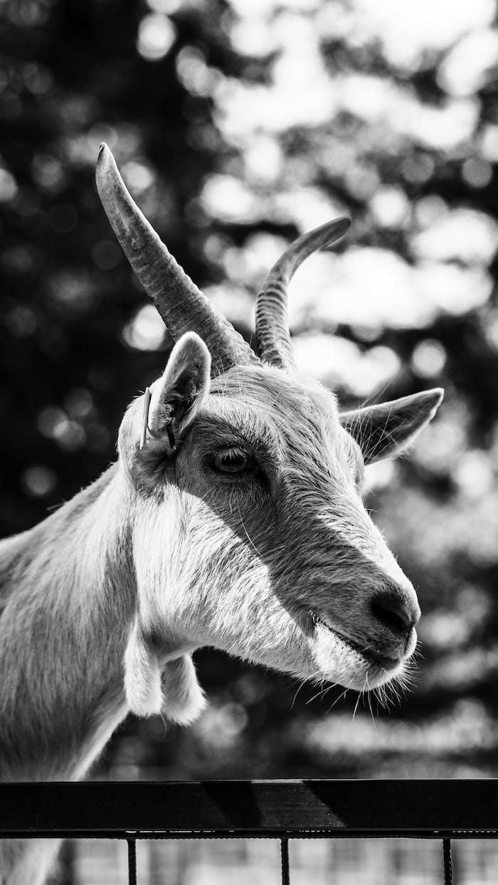 Mouton noir et blanc photo, image fond ecran nike, le plus beaux fond d'ecran noir et blanc