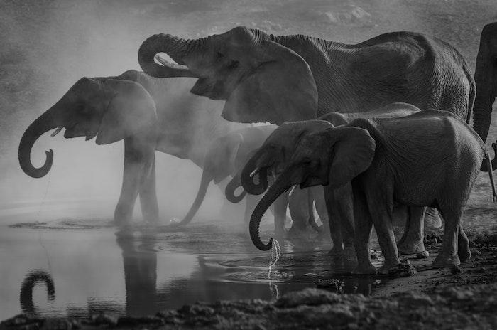 Éléphants dans la nature, lac fond ecran paysage noir et blanc, idée desktop photo