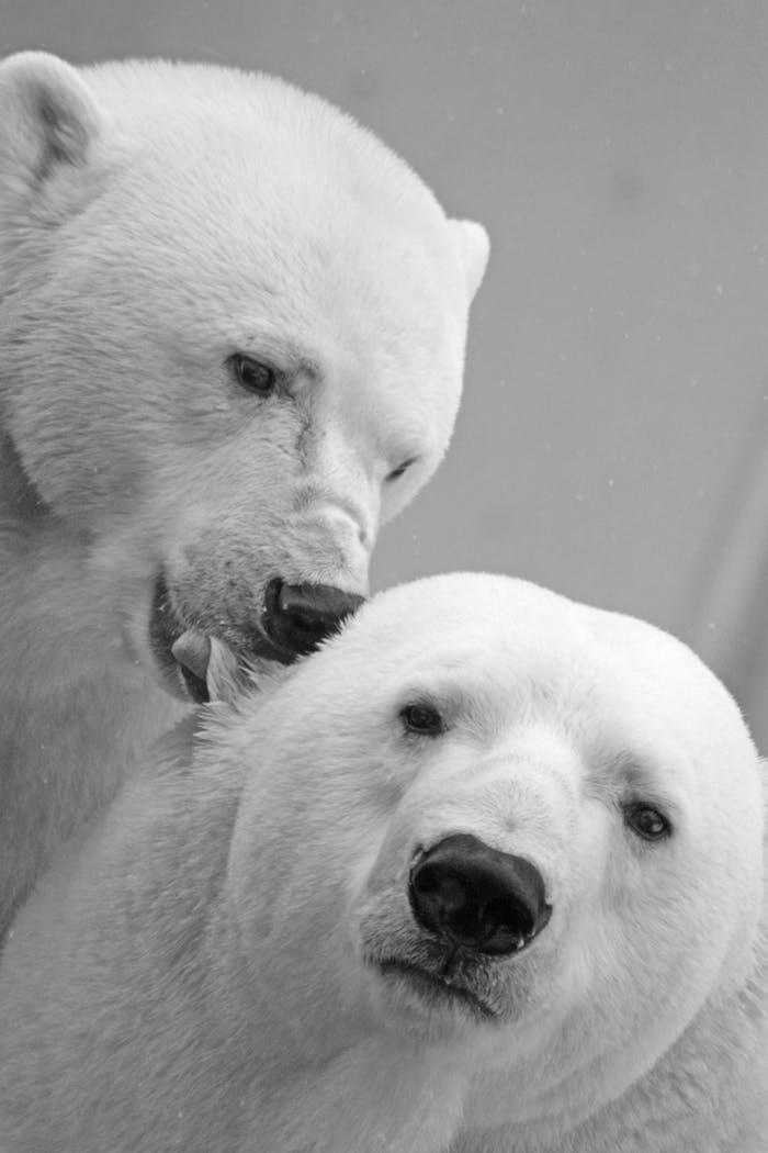 Oursons blanches fond ecran swag, photo noir et blanc pour mettre en arriere plan deux ourses embrasse