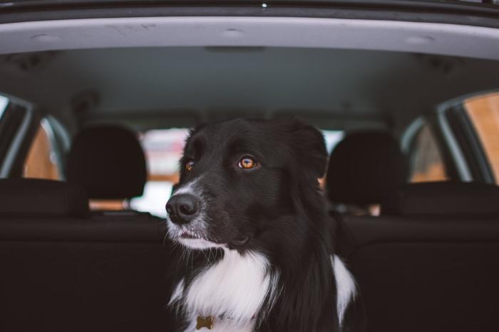 règles pour un voyage avec votre chien en voiture, comment organiser un voyage avec son animal de compagnie