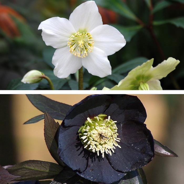 comme les légumes, les fleurs de saison existent, comme l'hellébore et sa pousse hivernale