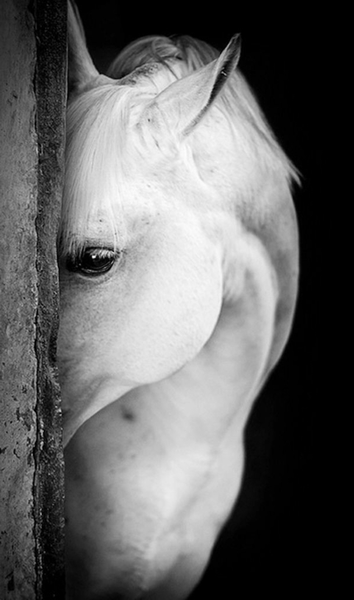 Cheval blanc fond ecran swag, photo noir et blanc pour mettre en arriere plan, photographie animaux noir et blanc