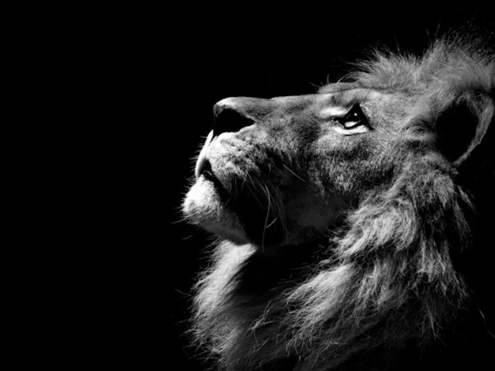 Lion portrait animal noir et blanc, image noir et blanc, est-ce que le blanc est une couleur