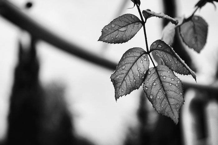 Arbre avec feuilles qui ont des goutes de la pluie, fond ecran swag, photo noir et blanc pour mettre en arriere plan