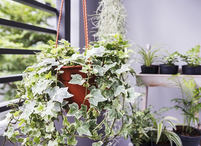 Chambre boheme en violet claire peinture murale lavande, les plus belles plantes d'intérieur, lierre pendante pot sur le plafond, plantes vertes sur étagères