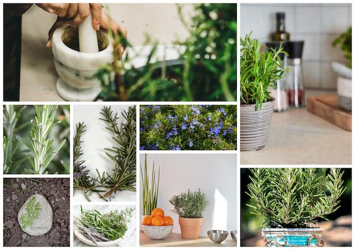 Rosemarin plantes dépolluantes, décoration d'intérieur stylé verte, idée plante d'intérieur romarin