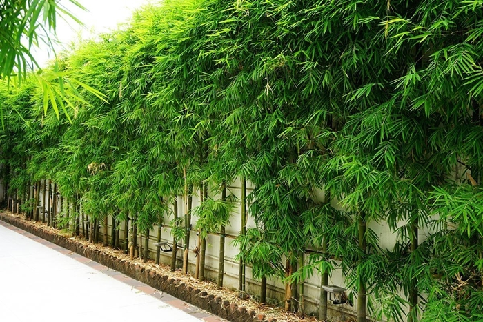 bamboo hedge along a wall in southeast asia