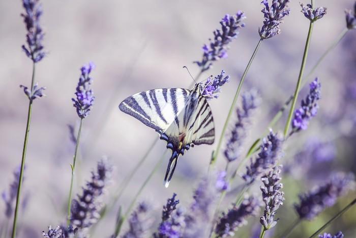 brin de lavande un papillon violet jonche sur un fleur de lavande chapm d herbes