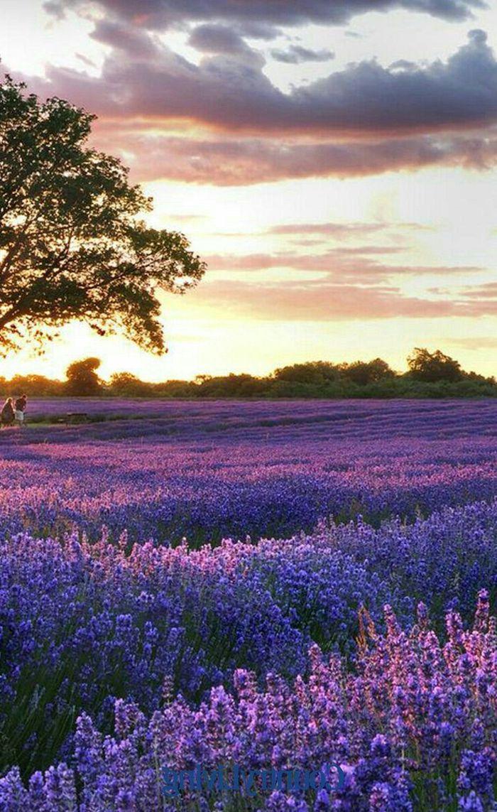 quand ramasser la lavande pour la mettre en sachet un champ de lavande paysage pendant le soleil qui se couche
