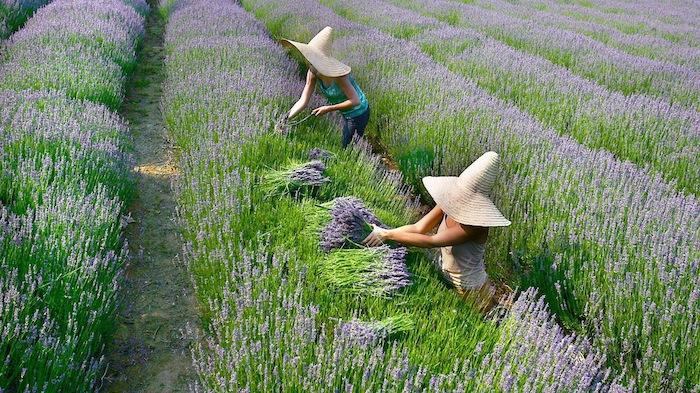 quand recolter la lavande deux femmes avec des chapeaux dans le champ cuieilllissent de lavande