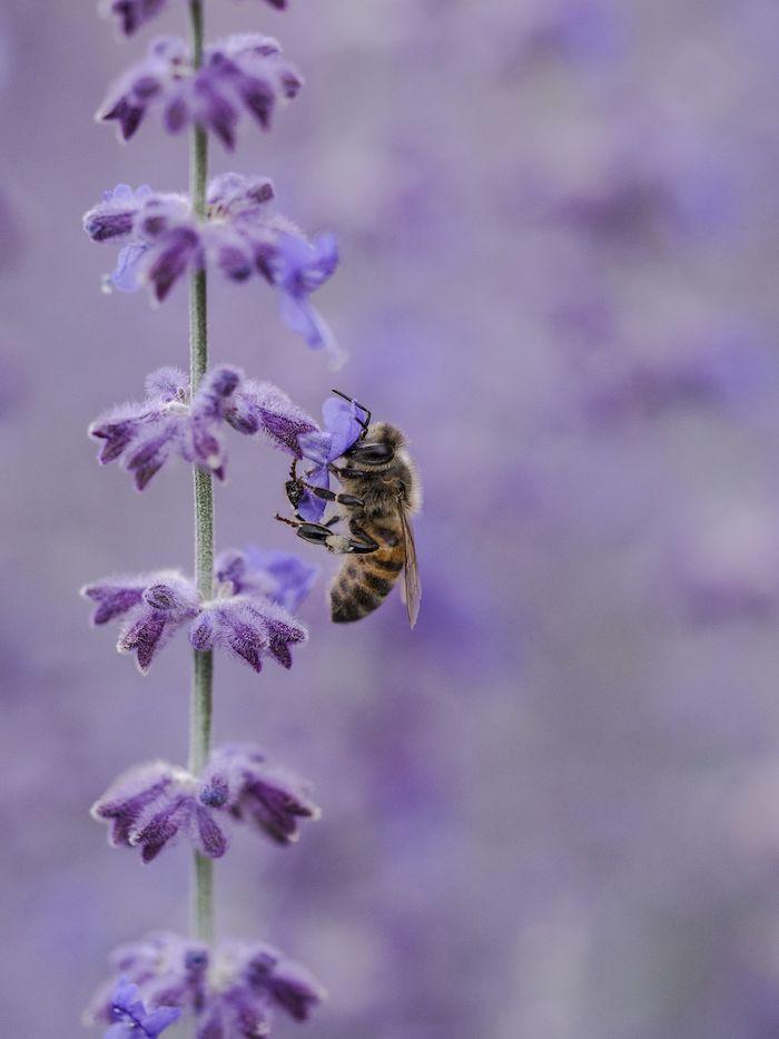 une abeille perche sur une fleur de lavande collectione pollen bricolage avec de la lavande