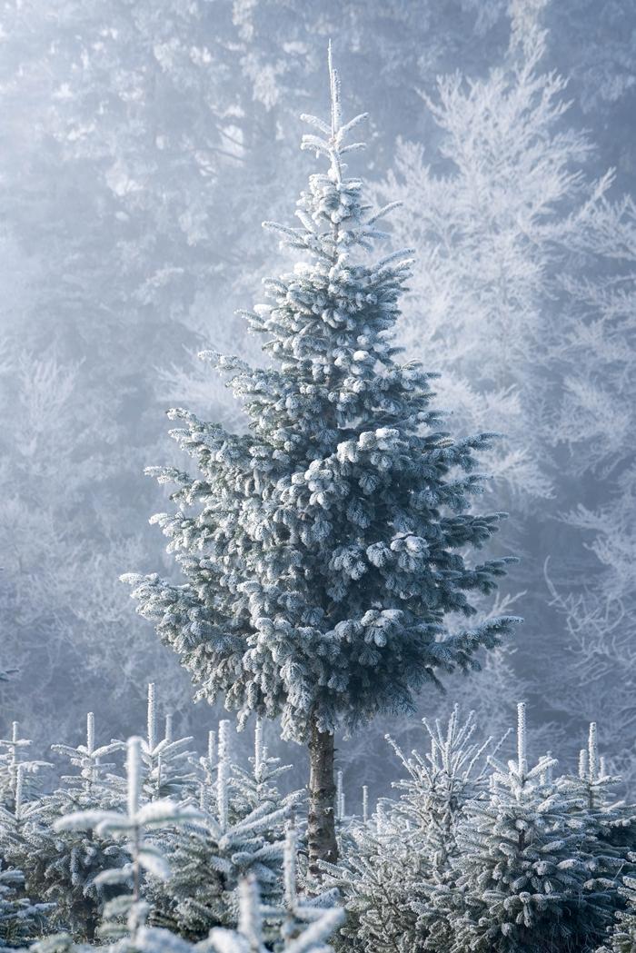 sapin de noel couvert de neige nature sauvage vierge paysage enneigé fond écran noel minimaliste