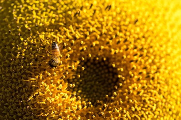 bienfaits de tournesol fleur une abeille sur une fleur de tournesol