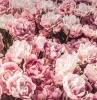 parfume florale fleur couleur rose