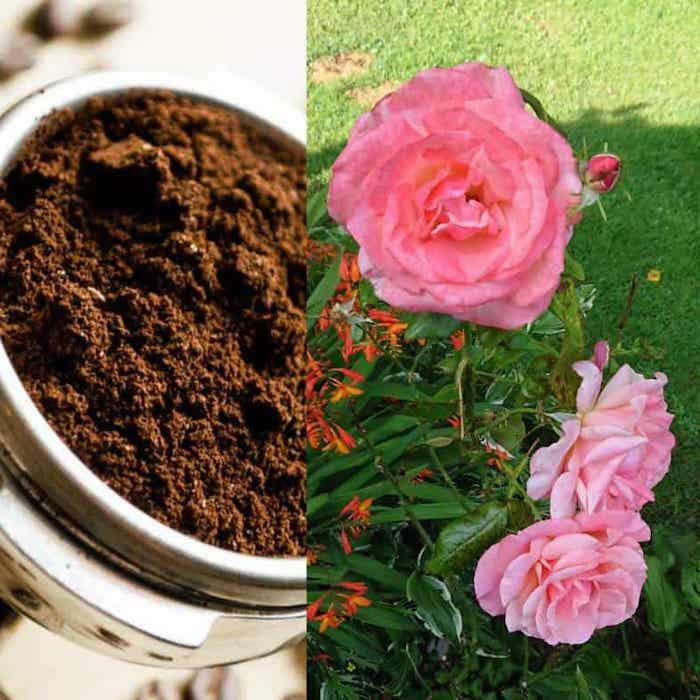 quelles plantes aiment le marc de café des rosiers et du café fraichement moulu