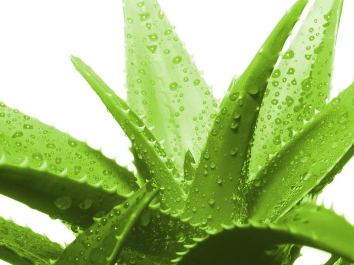 plantes médicales variété aloe vera plante utilisation santé produits cosmétiques gouttes eau