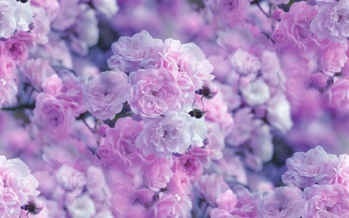 roses couleur rose pastel idée pour fond d écran fleur esthétique trop beau