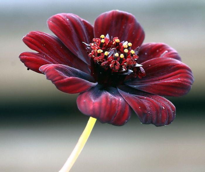cosmos au chocolat nom de fleure rare qui pousse au mexique ses fleurs bruns