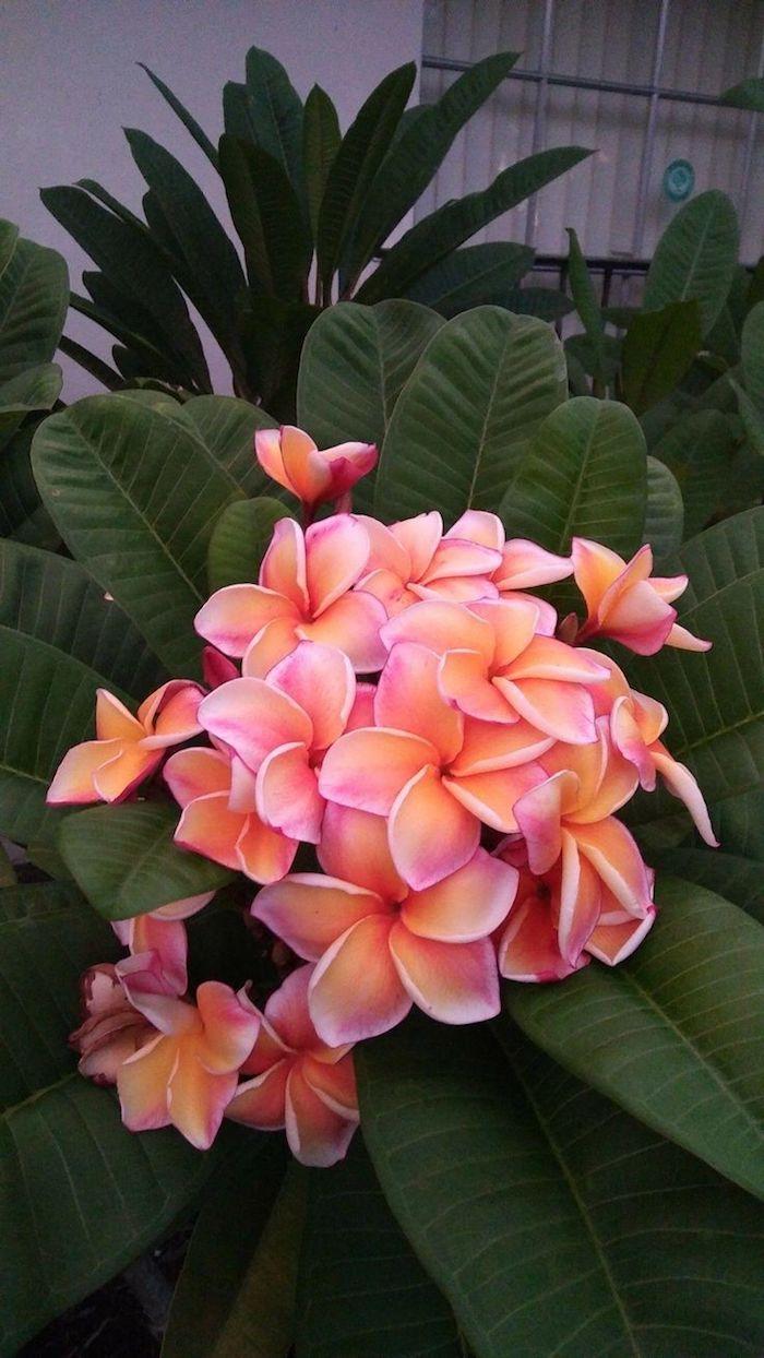des petales rose melange epaises avec des grandes feuilles vertes sur une fleur exotique