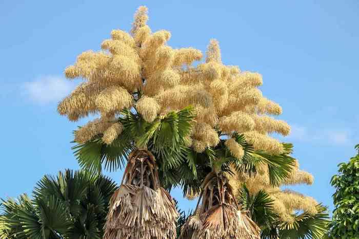 deux palmes avec des fleurs rares et granes grosse fleur record