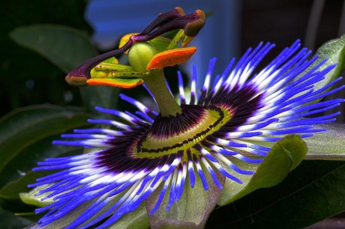 la plus belle fleur du monde la passiflore et ses couleurs vives violets
