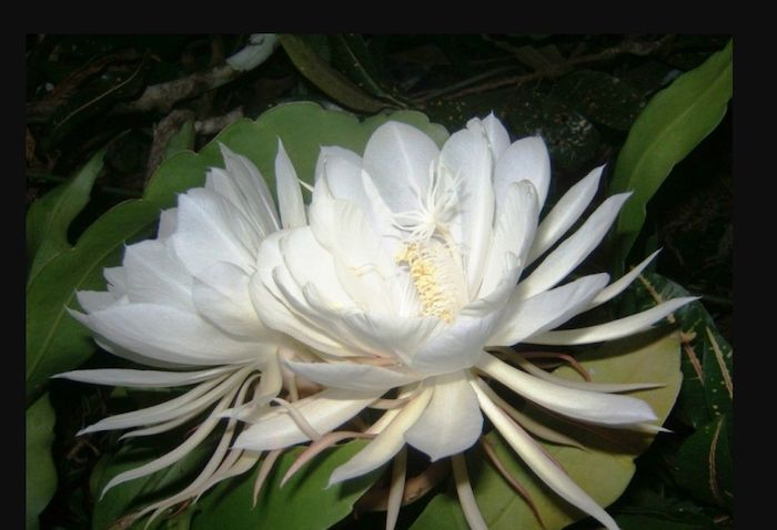 orchidée de fantome nom des fleurs avec photos des feuilles blanches et fines