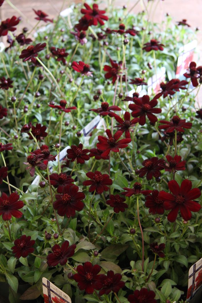 photos de bouquets de fleurs cosmos au chocolat fleur rare et aromatique du mexique