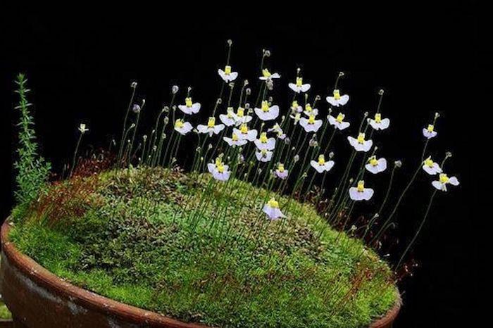 udulbara fleur asiqtique rare et faible poussée sur une mousse vertge au fond noir