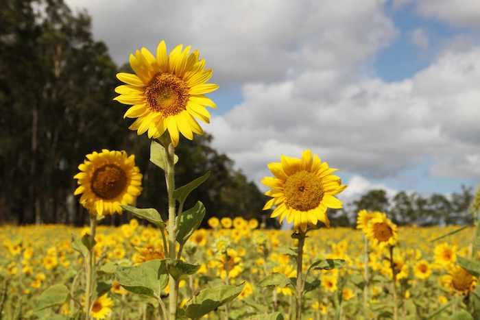 un champ de tournesols a cote d un froet sous un ciel avec des nuages plus belles fleurs du monde
