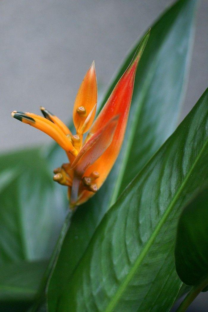 un exemple de la plus belle fleur du monde le bec de perroquet de la famille des lotus avec des feuilles oranges