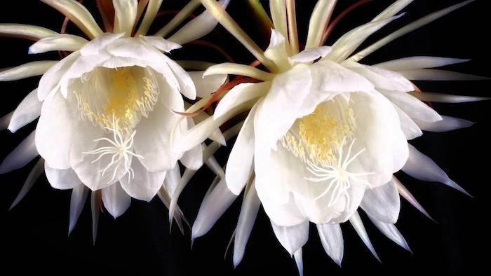 un fond noir et image de fleur appelée orchidée fantome avec des feuilles blanches fines jpg