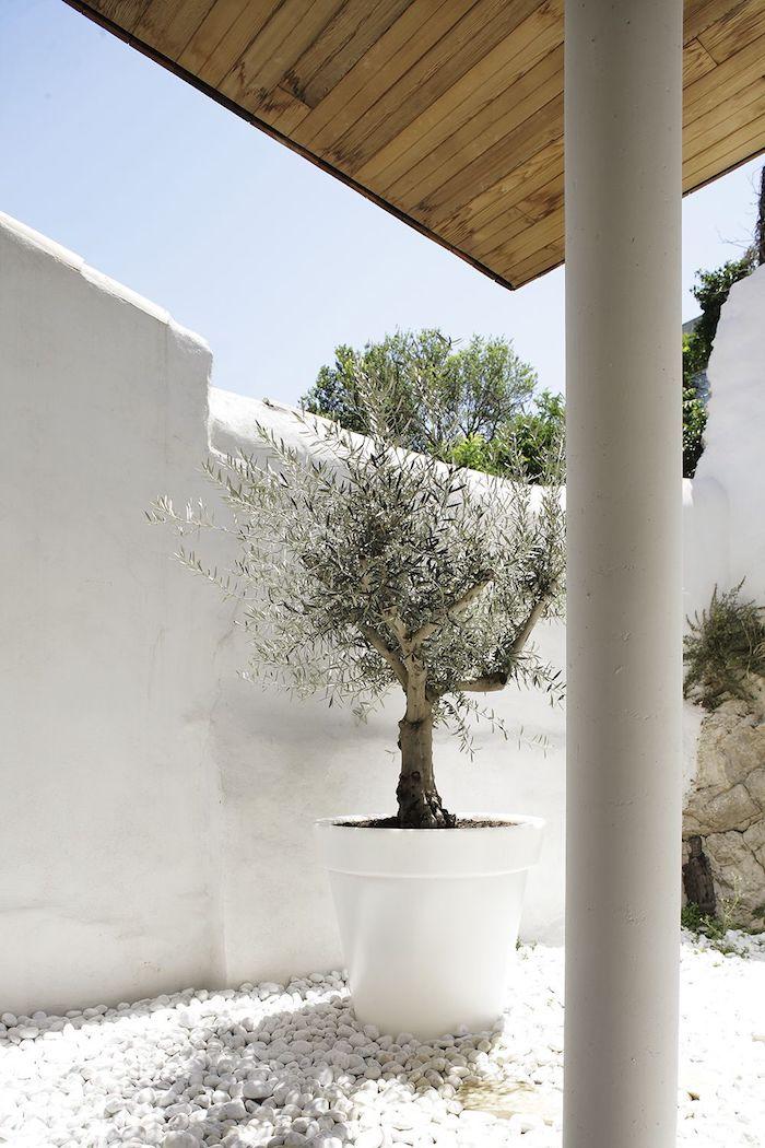 un grand cahe pot avec olivier derriere un mur blanche et sur galets blancs parterre