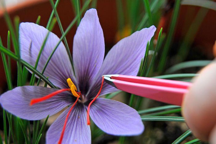 un main qui arrache avec pincettes le saffron d une fleur violet tres chère