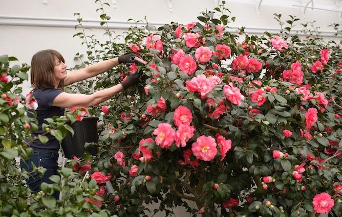 une femme qui s occupe de l entretien d un arbuste de rose fleur dans un jardin
