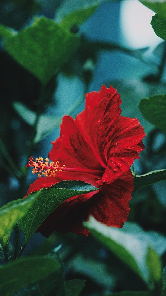 une fleur magnifique avec des grandes pétales rouge et des etamines jaunes