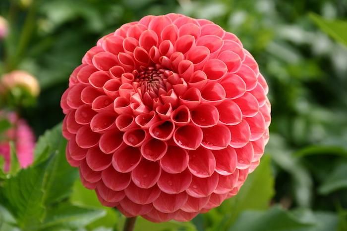 une fleure de forme irrégulière comme des petits entonnoirs en rose