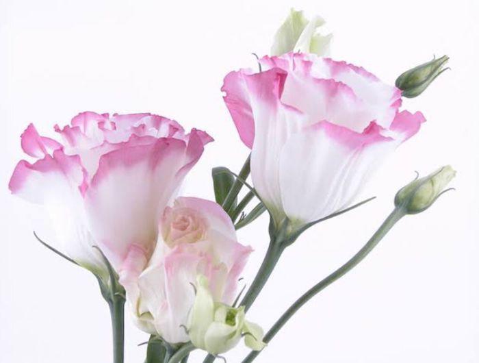 une image de caramfil avec des fleurs en blanc et rose l une ds fleurs les plus chers au monde