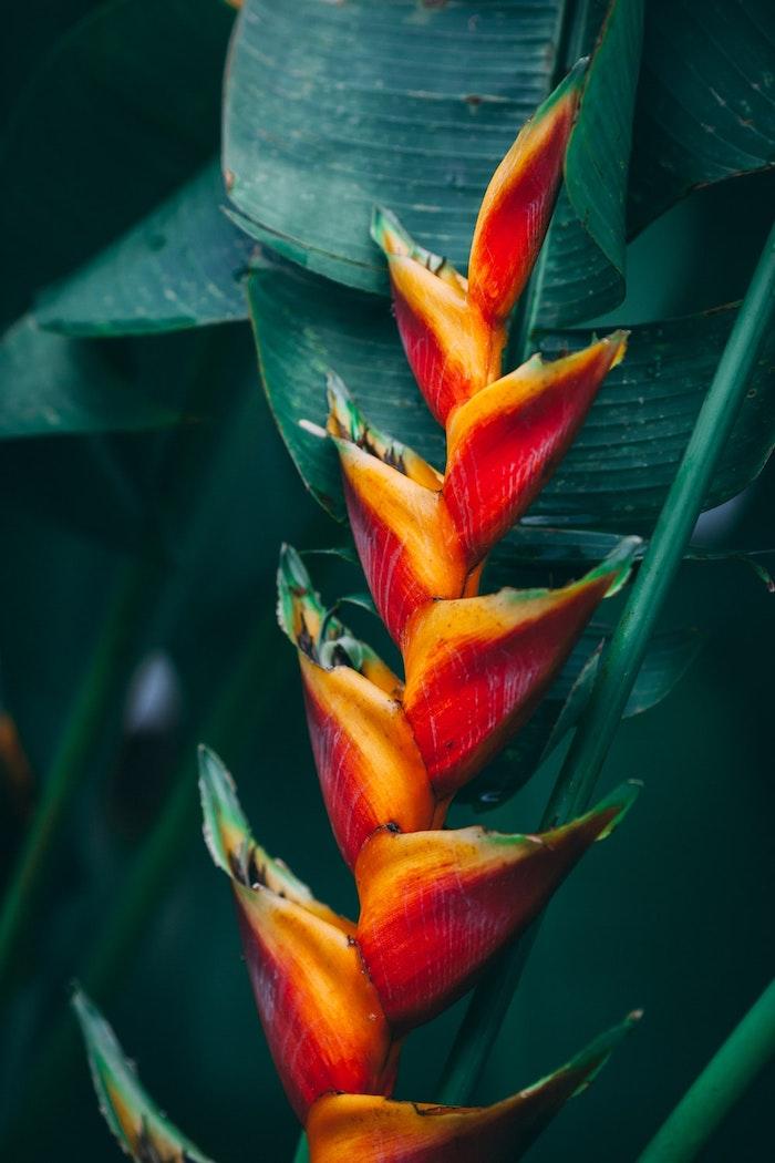 une photo de fleur clochette en couleurs vif orange et rouge et des feuilles vertes epaises