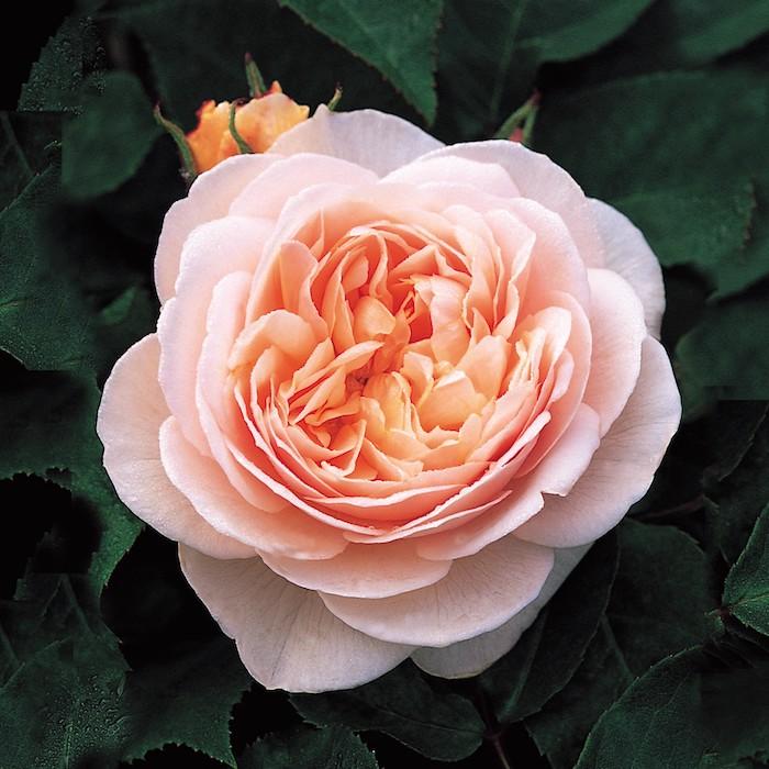 une photo de fleur rose avec des nuances jaunes devant une abondance de verdure jpg