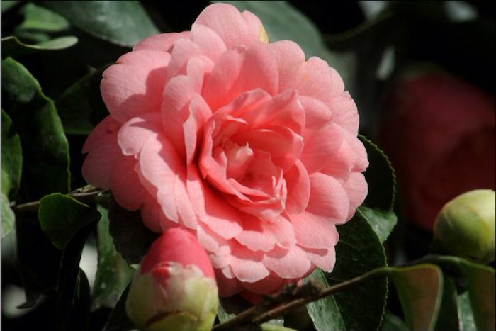 une photo de rose fleur avec des feuilles fines camelia middlemist devant une verdure