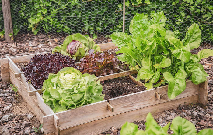 astuces de jardinage des choux et laitues plantés dans un petit lit en bois