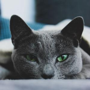 Quelle race de chat choisir - top 5 des chats d'appartement