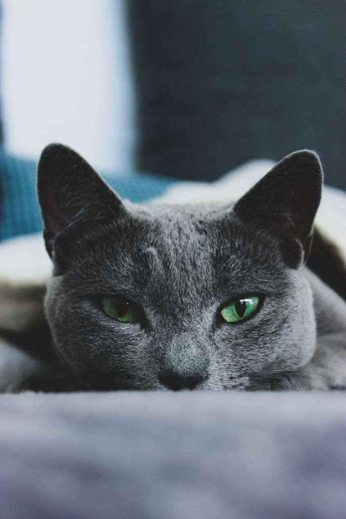 chat bleu russe idée pour choisir son chat de race animal gris aux yeux verts.jfif