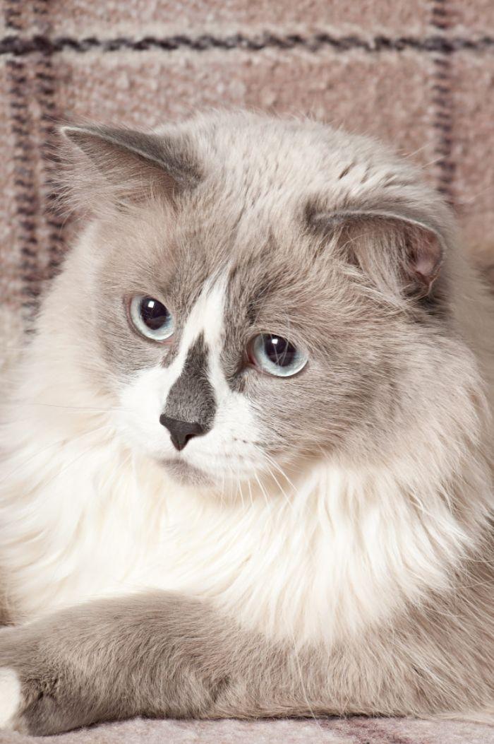 choisir son chat de race idée de chat gris et blanc ragdoll exemple animal de compagnie