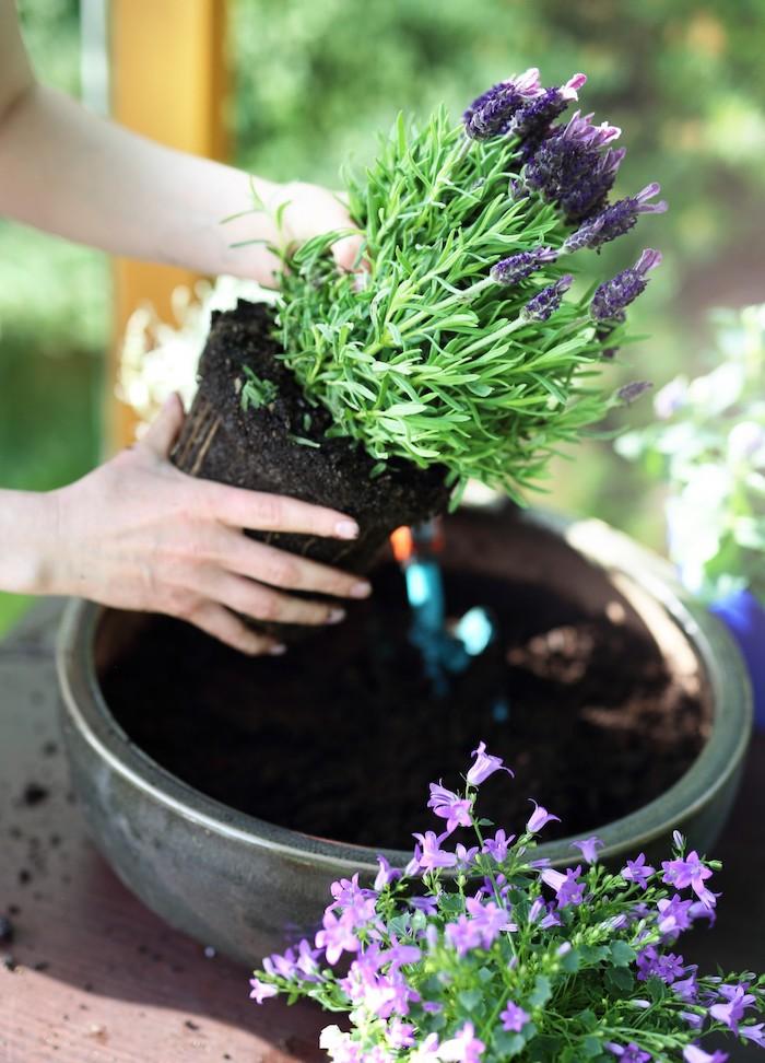 deux mains qui sort un bouquet de lavande de pot astuce jardinage potager