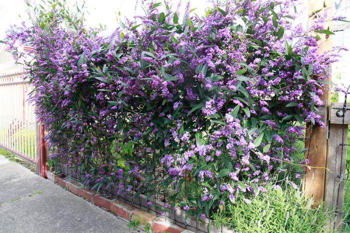 exemple de grille exterieure envahie par la vegetation plante violette haie brise vue aromatique