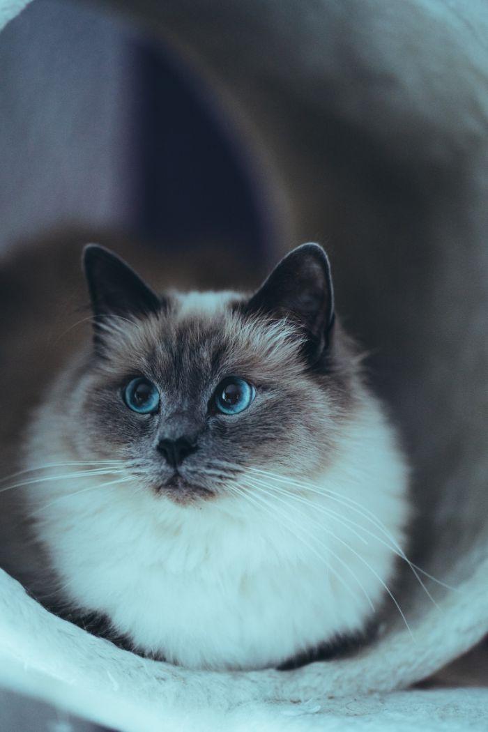 quelle race de chat sacré de birmanie élégant photo de chaton mignon gris et blanc.jfif
