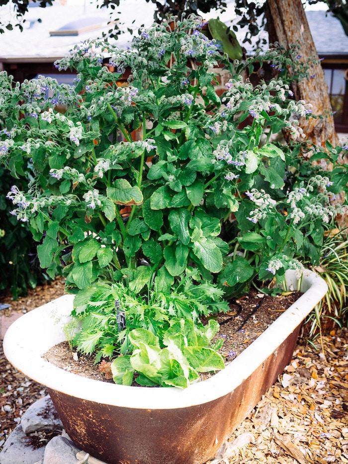 un astuce de potager des plantes dans un baignnoir vieux